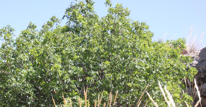 Árboles de frutos secos : Pistacho (Pistacia vera L.)