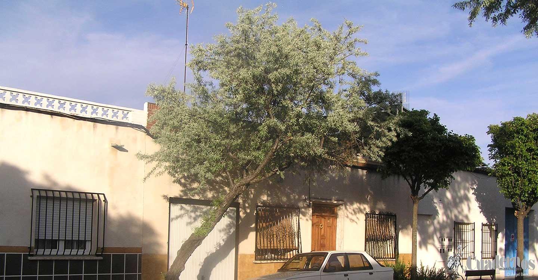 Árboles de Tomelloso: