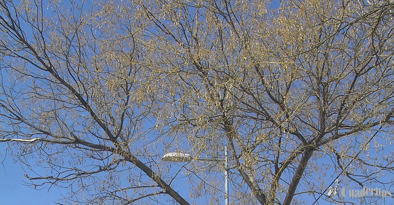 Árboles de Tomelloso: Sófora