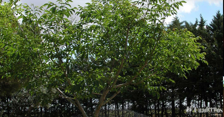Árboles de frutos secos : Nogal (Juglans regia L.)