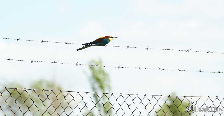"Aves de la Comarca de Tomelloso : ""Abejaruco"""