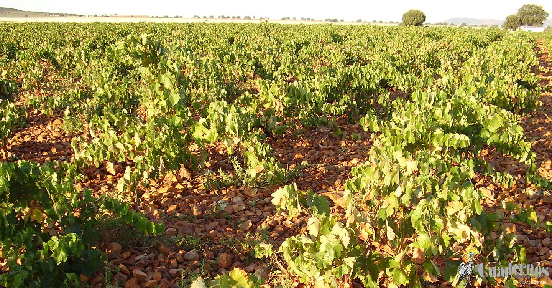 """Sobre la variedad de uva """"Cirial Cayetana"""""""
