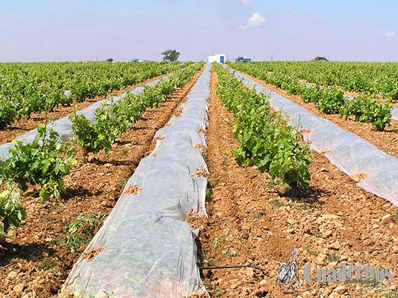 Tomelloso y su agricultura