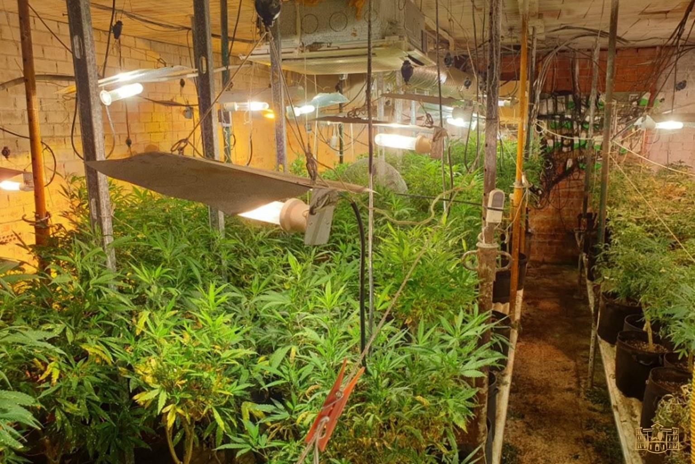 Dos detenidos y más de mil plantas de marihuana incautadas en una operación conjunta de Policía Local de Tomelloso y Policía Nacional