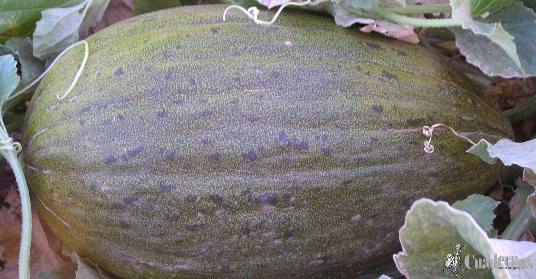 Distinguir la calidad del melón