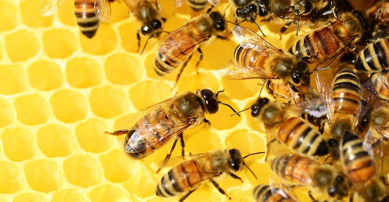 El lejano zumbido de las abejas en extinción