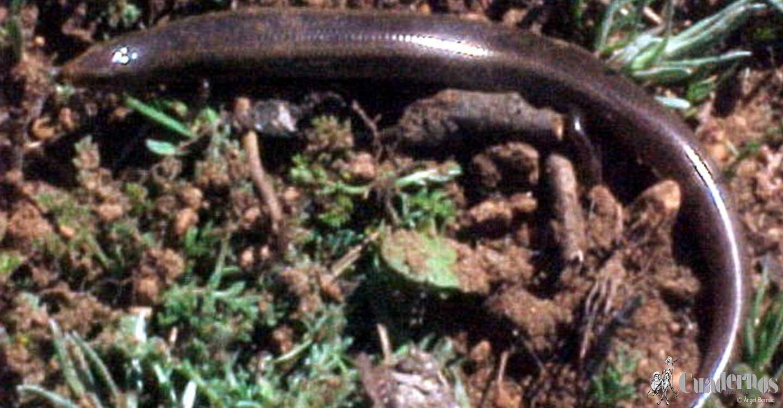 Reptiles y Anfibios de la Comarca de Tomelloso :