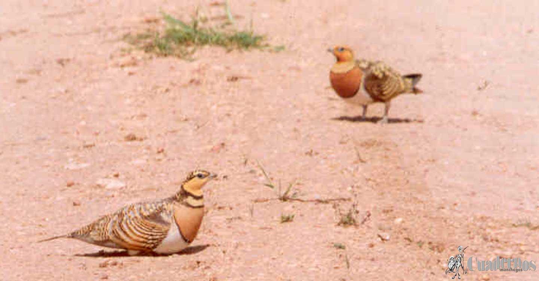Aves de la Comarca de Tomelloso :