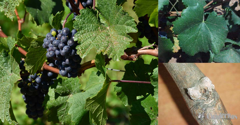"""Variedades de uva : """"Garnacha tintorera"""""""