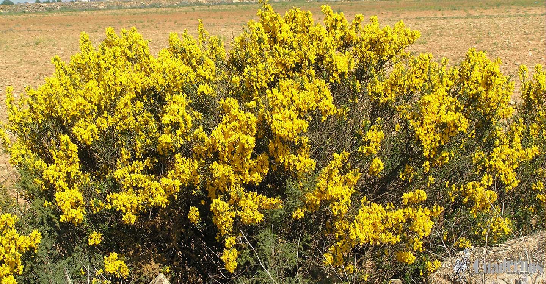 Plantas silvestres de la Comarca de Tomelloso :