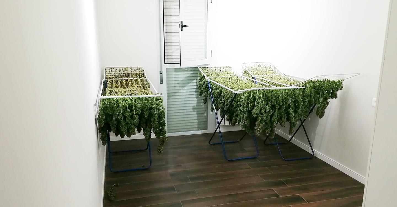 La Guardia Civil detiene a cuatro personas e incauta 31 kilos de marihuana en tres domicilios de Tomelloso