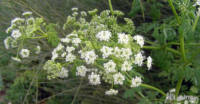 La cicuta: una planta venenosa