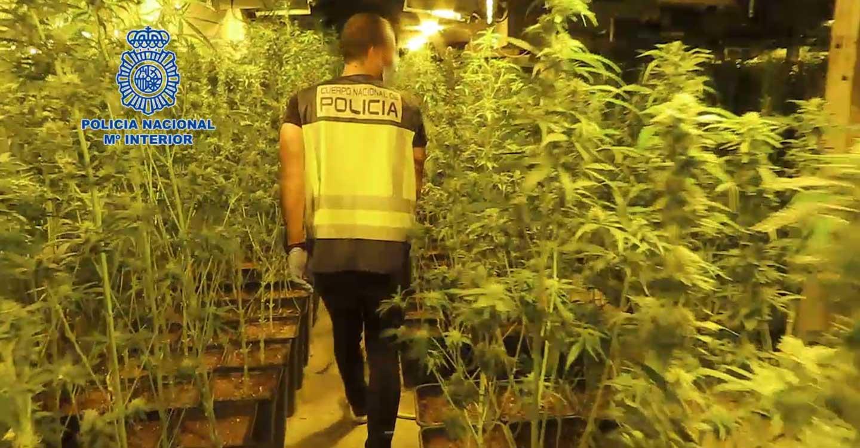 La Policía Nacional desmantela una macroplantación de marihuana en Tomelloso con cerca de cinco mil plantas
