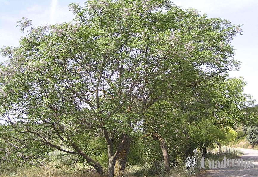 Melia acedarach