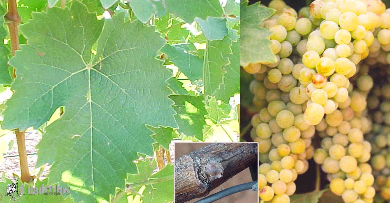 """La viticultura actual: """"Variedad de uva Moscatel de grano menudo"""""""