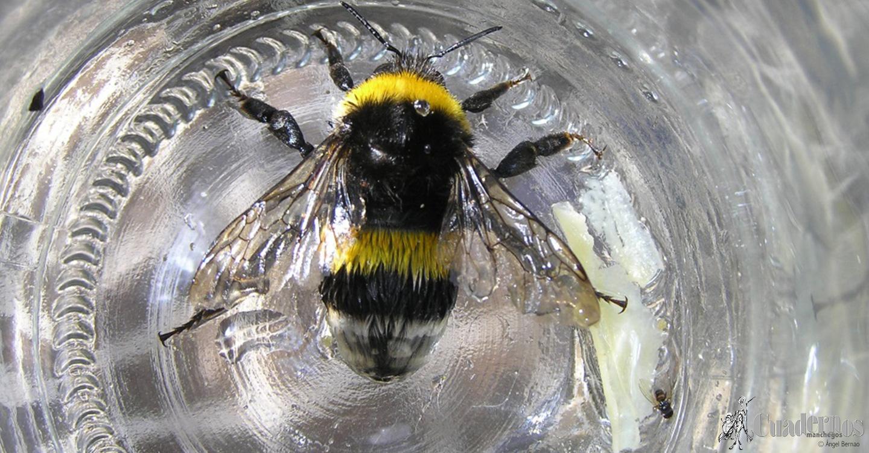 Insectos: Bombus terrestris (Abejorro terrero)