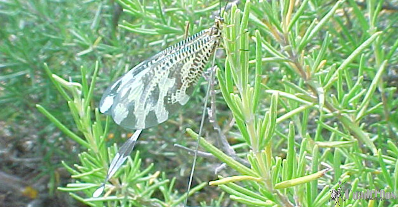 """Mundo animal de la Comarca de Tomelloso : """"Nemoptera bipennis"""""""