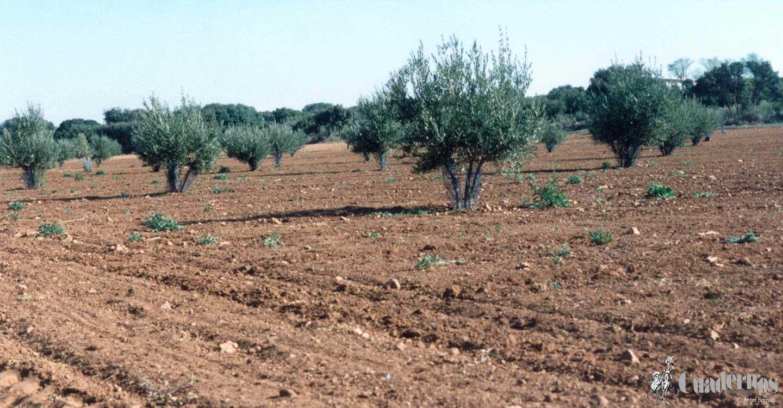 Paisajes de Tomelloso: El olivar
