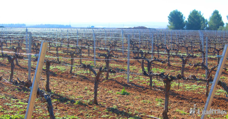 Plantaciones de viñedo : ¿Vaso o espaldera?