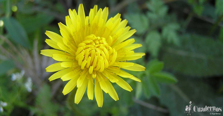 Plantas silvestres comestibles (1)