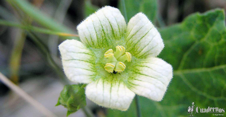 Plantas medicinales de la comarca de Tomelloso: