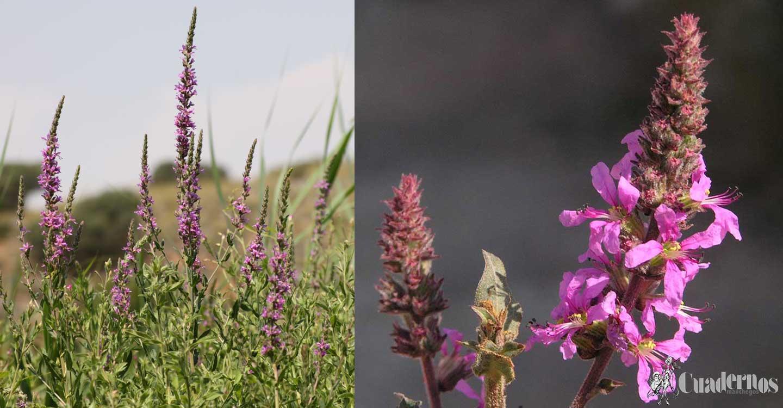 """Plantas silvestres de la Comarca de Tomelloso : """"Lytrum salicaria L."""""""