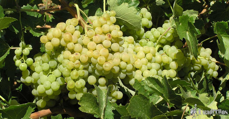 Los precios de las uvas en la comarca de Tomelloso