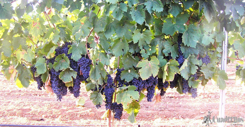 """Sobre la variedad de uva """"SYRAH"""""""