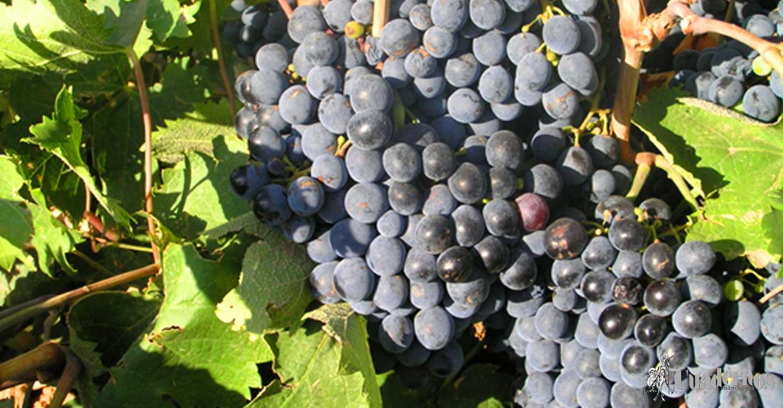 "Variedades de uva : ""Tinto Velasco"""