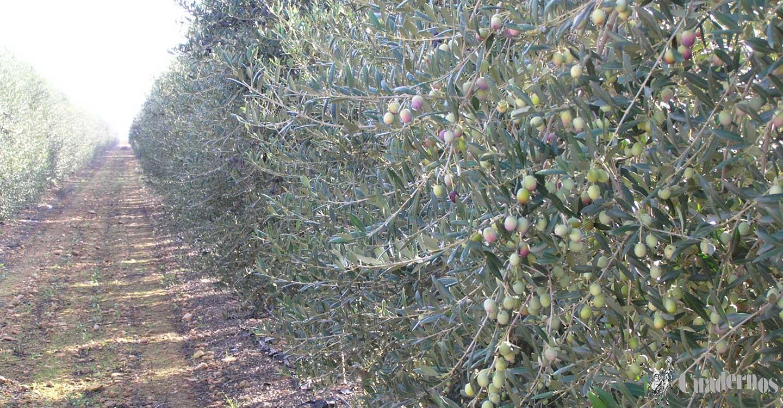 Tomelloso y su agricultura: 'El olivo'