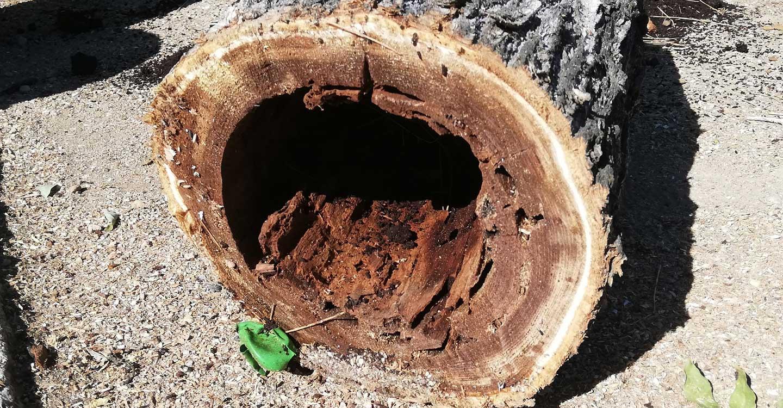 El Ayuntamiento de Tomelloso da comienzo al plan de poda y repoblación de los árboles en mal estado de la localidad