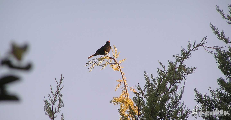 Aves silvestres de la Comarca de Tomelloso :