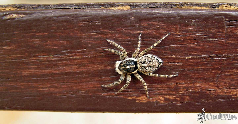 Una araña de Tomelloso obediente