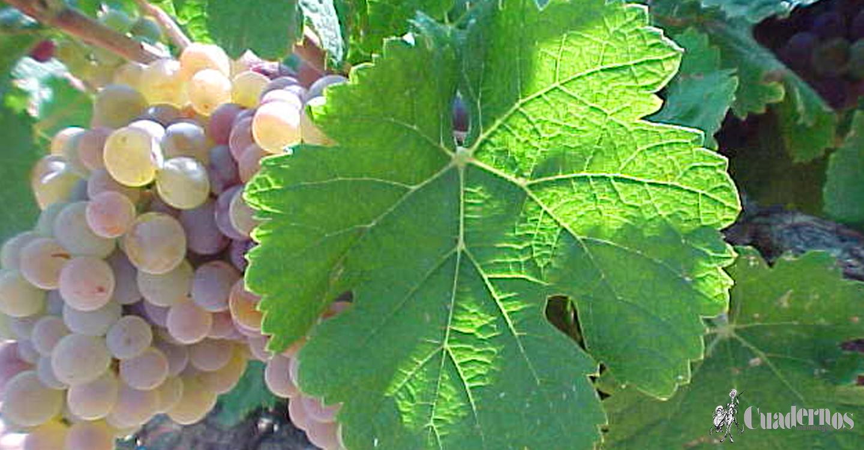 Variedades de uva : 'Coloraillo'
