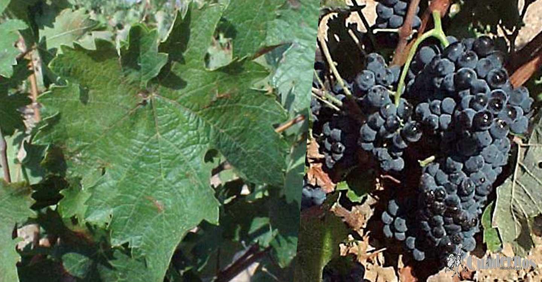 """La viticultura actual: """"Variedad de uva Graciano"""""""
