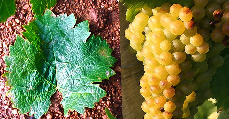 "Variedades de uva : ""Chelva-Mantúa"""