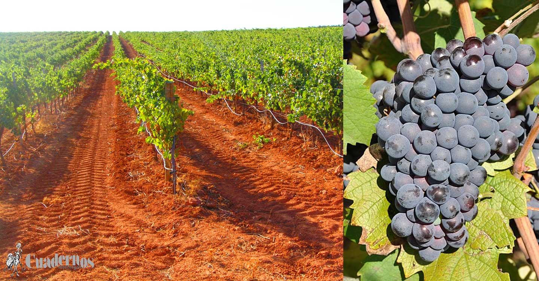 Variedades de uva : 'Monastrell'