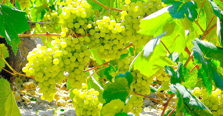 "Variedades de uva : ""Parellada"""