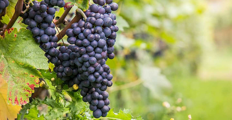 "Variedades de uva : ""Pinot Noir"""