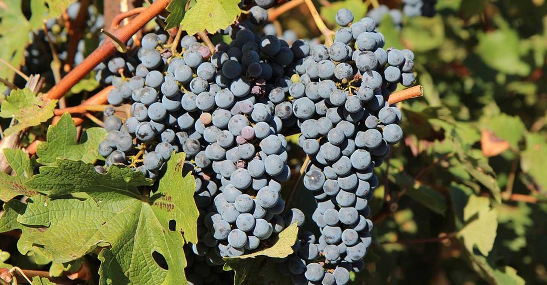 La viticultura actual: