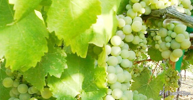 "Variedades de uva : ""Viognier"""