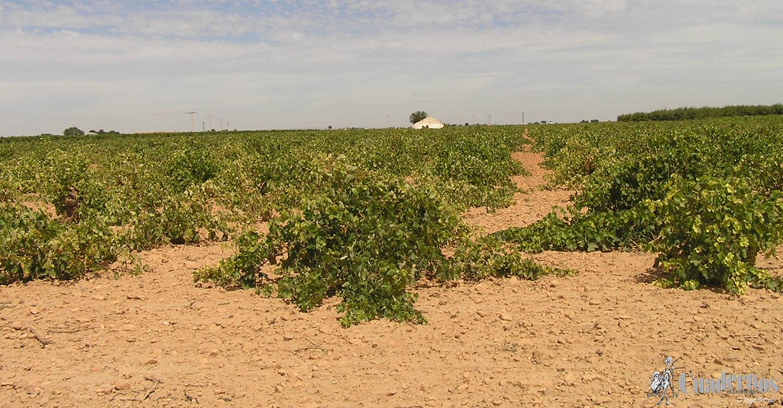 Ya es inmediata la próxima campaña de  recolecciones de nuestros productos  agrícolas en Tomelloso