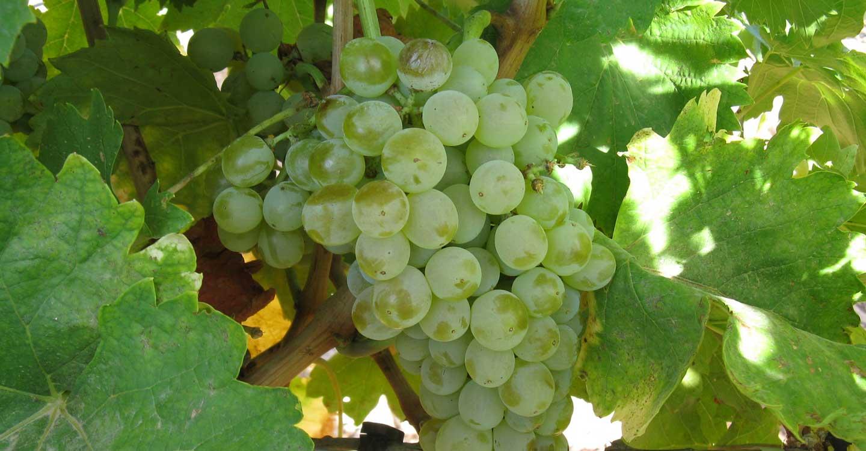 Castilla-La Mancha recupera ocho variedades de vid autóctona en los últimos cinco años gracias a los trabajos de investigación