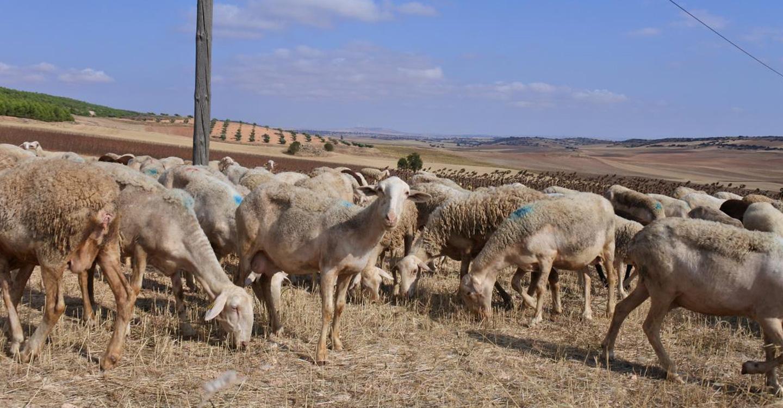Castilla-La Mancha supera los 600 millones de euros de ayudas abonadas de la PAC, con la inyección hoy de más de cinco millones para vacuno de cebo