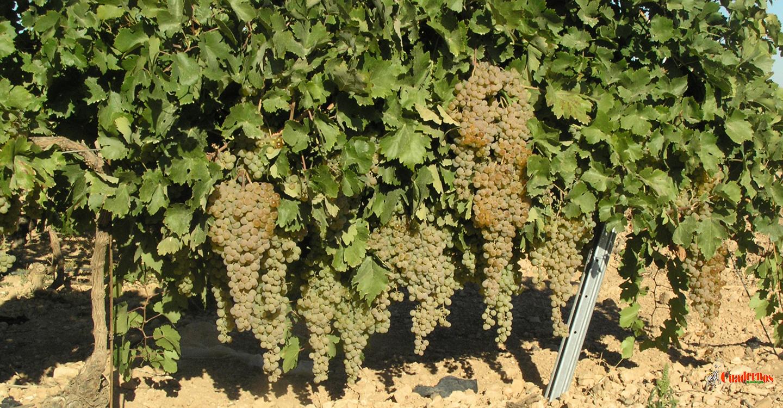 La viticultura actual