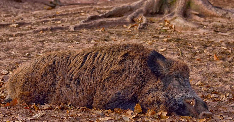 El Gobierno de Castilla-La Mancha confirma un caso de triquinosis por consumo de carne de jabalí proveniente de una cacería en Fontanosas