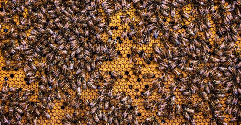 El Gobierno de Castilla-La Mancha abona más de 355.000 euros a cincuenta apicultores de Ciudad Real para la mejora de la biodiversidad