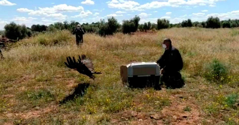 El Gobierno de Castilla-La Mancha lleva a participación pública la revisión del plan de recuperación del águila imperial ibérica