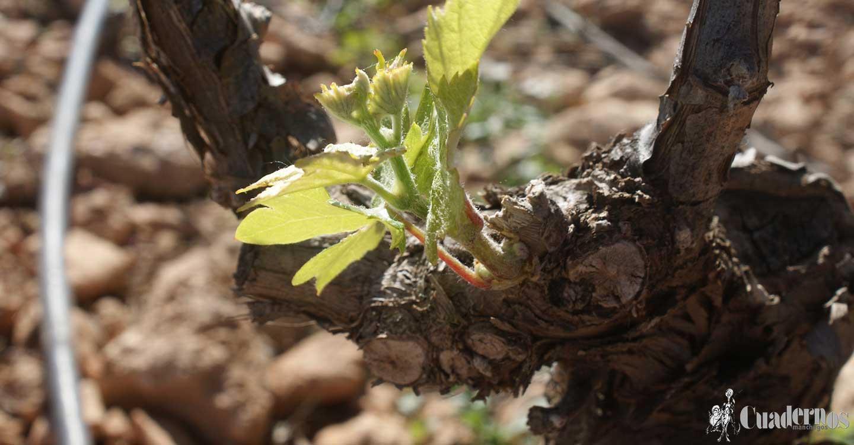 El Gobierno regional ha superado los 10,2 millones de euros de ayudas a la reestructuración del viñedo para más de 1.100 viticultores