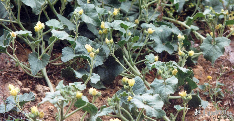 Plantas medicinales : Ecballium elaterium (L.) A. Richard